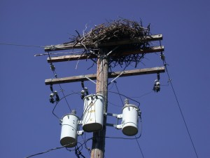 Raptor Nest on Power Line